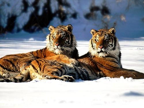 Tigre15