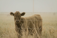 Lovely Young Lady (LukeDetwiler) Tags: travel usa fall grass fog fence cow october montana unitedstates cattle northwest unitedstatesofamerica tan roadtrip northamerica traveling democrat liberal outofstate