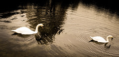 Swans (chrism00se) Tags: autumn winter england blackandwhite bw lake bird english birds animal animals sepia river blackwhite swan couple britain ripple wildlife swans stourhead british ripples stourheadgardens