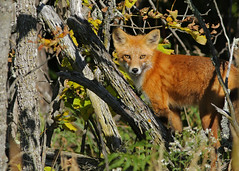 Red Fox...#13 (Guy Lichter Photography - Thank you for 2.5M views) Tags: canada animal animals canon foxy wildlife manitoba fox mammals whiteshellprovincialpark canon14xteleconverter foxred canonef400mmf56l 5d3 amazingwildlifephotography