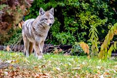 The Neighborhood Coyote 2 of 5 (efiske) Tags: coyote colorado wildlife urbanwildlife