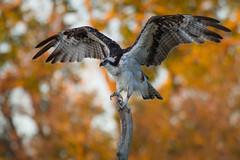 Morning Stretch (gseloff) Tags: fall birds texas foliage pasadena osprey armandbayou kayakphotography gseloff