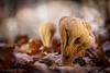 Clavariadelphus pistillaris (JM Ripoll) Tags: forest mushrooms bosque fungus funghi pilze wald svamp mycology pilz champignons setas fong bosc foresta fungo bolets micologia mikologia onddo clavariadelphus mycologie pistillaris pilzkunde foraoise