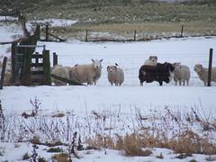 Sheep in Winter (DSCF9030) (AngusInShetland) Tags: winter scotland sheep shetland dunrossness spiggie