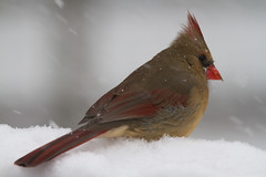 Female Northern Cardinal (Scott Alan McClurg) Tags: life wild snow storm bird animal backyard post cardinal wildlife feathers seed feeder neighborhood deck eat perch railing flap smallbirds songbird