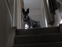 15th Dec Susie up above (Cardedfolderol) Tags: dog pet animal canine whippetcross