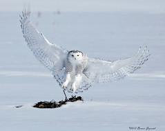 Snowy Owl Landing   7238 (Bonnieg2010) Tags: wild snow canada bird nature snowy ngc npc alberta owl snowyowl greatphotographers allrightsreserved snowyowlflight allnaturesparadise bonniegrzesiak snowyowllanding