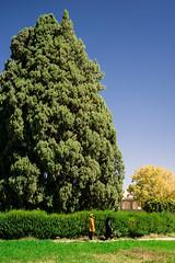 Sarv-e Abarkuh (dawvon) Tags: world travel trees plants nature nikon asia iran middleeast cypress nikkor lenses fars  fmount islamicrepublicofiran yazdprovince abarkuh westernasia abarkooh   zoroastriansarv  afsnikkor24120mmf4gedvr persia  sarveabarkuh cypressofabarku