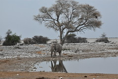 It's a New Morning (The Spirit of the World ( On and Off)) Tags: africa nature reflections wildlife ngc safari npc elephants waterhole etosha waterreflections autofocus southernafrica africananimals rememberthatmomentlevel4 rememberthatmomentlevel1 rememberthatmomentlevel2 rememberthatmomentlevel3 rememberthatmomentlevel5