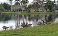 Canada Geese (Anita363) Tags: urban bird fauna hawaii hi bigisland hilo canadagoose brantacanadensis branta anatidae anseriformes brantacanadensismoffitti waiakeafishpond waiakeapond
