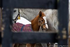 20130322_029_McMahon.jpg (cct77gjj) Tags: horses newyork animals mare saratoga saratogasprings mcmahon foal
