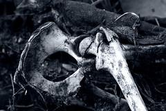 What is hip? (TJ Gehling) Tags: skeleton mammal opossum bone hip femur didelphisvirginiana didelphis richmondca virginiaoppossum oscoxae meekersloughcreek