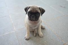 (babysaysbaby) Tags: dogs pug pugpuppy