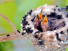 Hungry Hummingbird babies today (classymis) Tags: birds babies hummingbird nest hungry hummingbirdbabies classymis