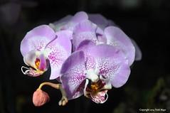 Orchid Show (Trish Mayo) Tags: flowers orchid purple nybg newyorkbotanicalgarden masterphotos masterphoto thebestofday gnneniyisi