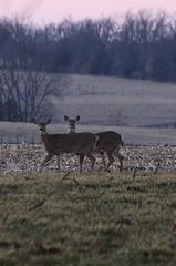 Deer at Sunset (Blue-Eyed Kentucky) Tags: sunset bluegrass kentucky wildlife lexingtonkentucky deer blueeyedkentucky