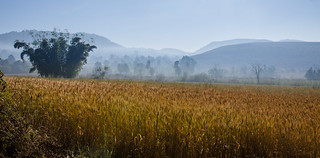 Golden field on a misty morning (Explore)
