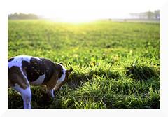 flying clods (mamuangsuk) Tags: primavera switzerland spring jrt sam digging sunny jackrussell flare dig printemps kennel digger contrejour controluce frühling againstthelight motte parsonrussellterrier mirrorless thelittledoglaughed zolle mamuangsuk flyingclods fujinonebc35mm