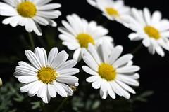 Tomando el sol (ndrg) Tags: flower flowers macro micro flor flores calle street sote sotdechera sot de chera ndrg ndrg2 d5100 50mm 50mm18 oscar jimenez oscarjimenez óscarjiménez