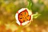 Tulip (rupertalbe - rupertalbegraphic) Tags: flower nature spring natura alberto tulip poppies basil mariani tulipano orto papavero rupertalbe rupertalbegraphic