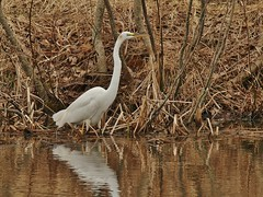 Gisland Farm Pond Great Egret (Bill Bunn) Tags: maine falmouth greategret