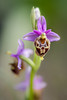 Ophrys heldreichii (macropoulos) Tags: orchid topf50 500v20f greece 500v50f orchidaceae crete wildflower ophrys canoneos5d 1000v40f canonef100mmf28macrousm asparagales heldreichii