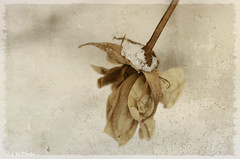 Gone Love (guizhou2012) Tags: texture rose vintage nikon oldstyle autumnleaves covered memory withered wildflower driedroses fadingcolors distressedlook memoriesbook rosessnow