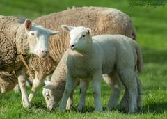 Generationenwechsel (rafischatz... www.rafischatz-photography.de) Tags: nature spring sheep pentax flock meadow lamb tamron70300 k200d