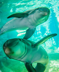 dolphin posing for a camera closeup (AgFineArtPhotography.com) Tags: ocean life blue wild cute nature wet water pool beautiful smile animal closeup swimming fun mammal nose friend marine underwater play dolphin wildlife under adorable scuba communication intelligence friendly aquatic lovely creature