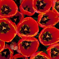 Squeeze (phoGARDENtog) Tags: flowers macro 50mm dallas texas tulips olympus redorange e30 dallasblooms dallasarboretumandbotanicalgarden