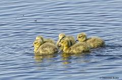 Goslings (Summerside90) Tags: ontario canada bird nature birds geese spring wildlife may goslings birdwatcher longpoint