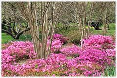 Sherwood Gardens ~ HTMT! (karma (Karen)) Tags: flowers trees topf25 azaleas tulips maryland baltimore explore bushes guilford sherwoodgardens htmt cmwdpink