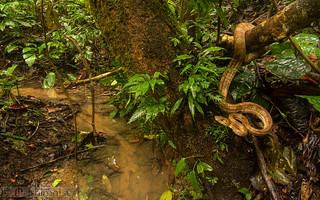 Amazon Tree Boa, Corallus hortulanus