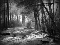 Tentsmuir Forest (eric robb niven) Tags: bw forest mono cycling scotland woods fife dundee tentsmuir tayport ericrobbniven