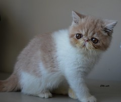 Those eyes! (gabriella.remes) Tags: color cat bigeyes photo kitten cream exotic shorthair cuteeyes kitteneyes