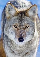 Coyote (~Bella189) Tags:
