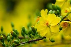 DSC_3345 (khoibinh) Tags: flower mai hoa ochna integerrima