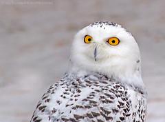 Snowy Owl (Nick Saunders) Tags: winter portrait snow saskatchewan barred snowyowl