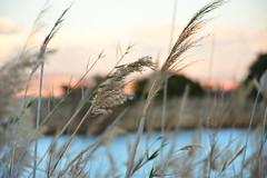 plumeros al viento (alfonsovalgar) Tags: río atardecer al nikon viento málaga guadalhorce plumeros d5200