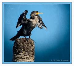 cormorant (hodad66) Tags: bird florida cormorant sonya7r canon50045