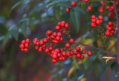 Heavenly Bamboo Berries (aeschylus18917) Tags: danielruyle aeschylus18917 danruyle druyle ダニエルルール ダニエル ルール japan 日本 nature nerima red seeds berries 105m pxt bamboo berberidaceae nandinoideae nandinadomestica ナンテン heavenlybamboo