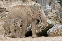 Chester Zoo (Jill Hempsall) Tags: elephant animal zoo captured chester