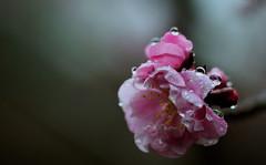flower 690 (kaifudo) Tags: flower japan 50mm sapporo nikon waterdrop hokkaido sigma v3    japaneseapricot ft1 maruyamapark    nikon1  kaifudo sigma50mmf14art
