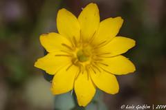 Blackstonia sp. (Lus Gaifm) Tags: flower macro planta nature natureza flor plantae mindelo gentianaceae lusgaifm blackstoniasp