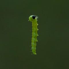 Oak Leaf Roller (ramseybuckeye) Tags: life county ohio nature leaf oak woodlands allen pentax roller hermon