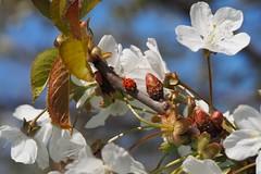 A ladys bug on a flowering cherry tree. (Bienenwabe) Tags: spring springflowers frhling marienkfer kirsche kirschbaum ladysbug