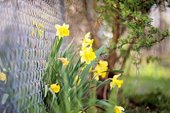 "Words I live by...""Eat clean. Stay fit. And have a burger to stay sane.""  ~Gigi Hydid (Sandra H-K) Tags: flowers nature fence outside outdoors spring flora dof bokeh may depthoffield softfocus dreamy serene ontheground daffodils springtime fencefriday"