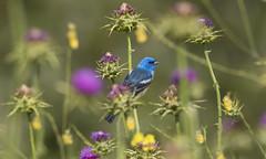Spring Palette (Hockey.Lover) Tags: birds explore lazulibunting garinregionalpark