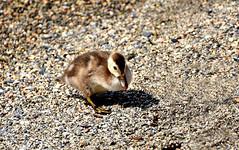Nette rousse (Diegojack) Tags: nikon sable oiseaux canards morges grve canetons netterousse nikonpassion d7200