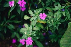 Little Flowers (msxas) Tags: flowers costa flower art photography 50mm moody sad pentax bokeh outdoor rica quotes forester f12 k30 tumblr vsco pentaxart moodygrams deleira